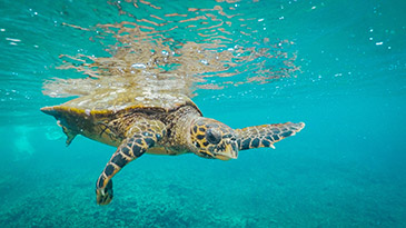 The underwater world of the Seychelles - Sea turtles